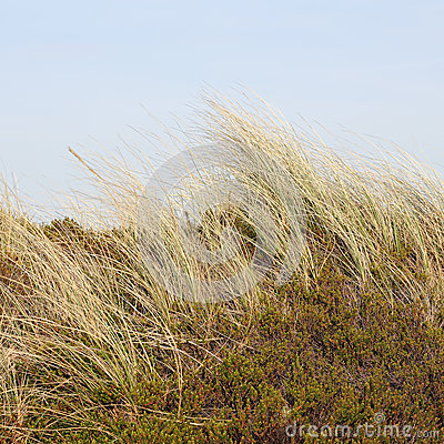 Free Beach Grass And Crowberry In The Dunes On The Island Of Sylt, Ge Stock Photos - 55920553