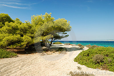 Beach with pines and bush