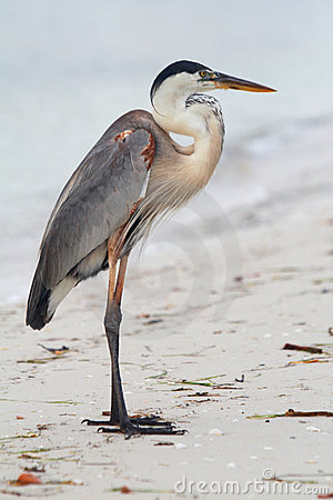 Beach piper