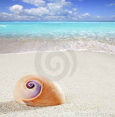 Beach sea snail tropical white sand closeup macro