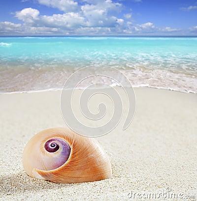 Beach sea snail tropical white sand closeup macro