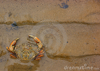 Beachcrab (Carcinus maenas) in the sand