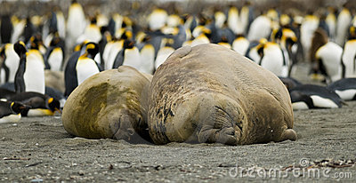 Beached Elephant Seal Couple