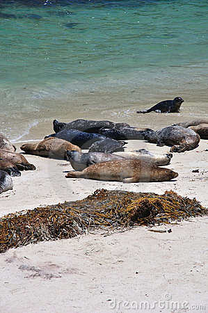 Beached harbor seals