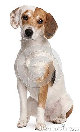 Beagle, 1 year old