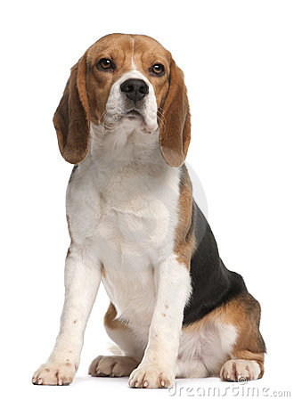 Free Beagle, 1 Year Old, Sitting Stock Images - 18672974