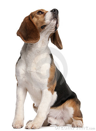 Free Beagle, 1 Year Old, Sitting And Looking Up Stock Photography - 18672982