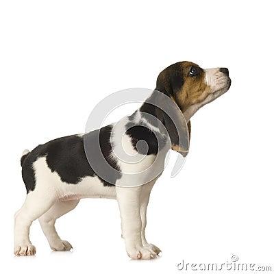 Free Beagle Royalty Free Stock Images - 2764799