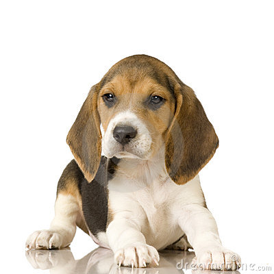 Free Beagle Stock Photos - 2764833