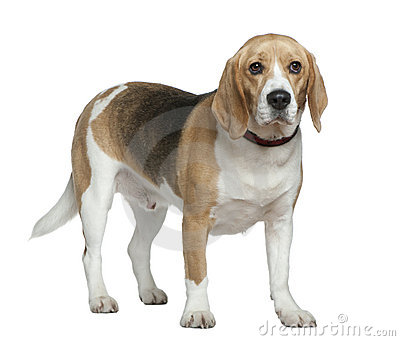 Beagle, 3 years old, standing