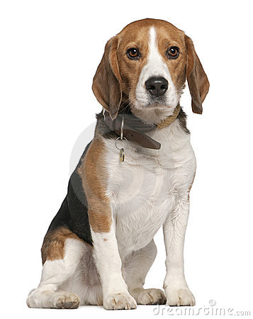 Free Beagle, 5 Years Old, Sitting Stock Images - 15360804