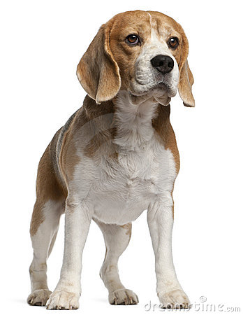 Beagle, 8 years old, standing