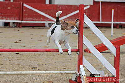 Beagle in agility