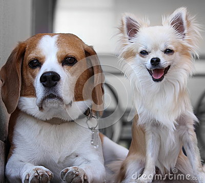 Beagle and chihuahua