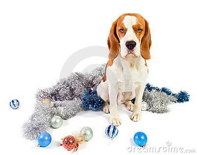 Beagle and Christmas ornaments