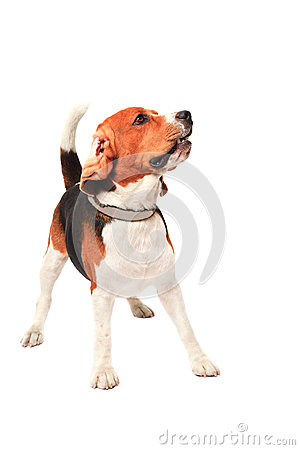 Beagle dog acting in studio light  white b