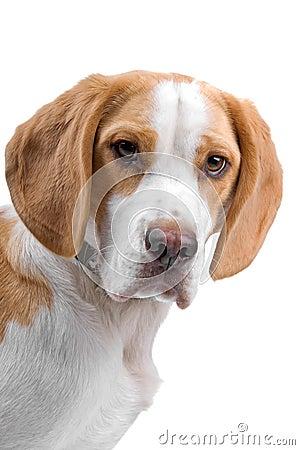Free Beagle Dog, Head. Royalty Free Stock Photo - 15741585