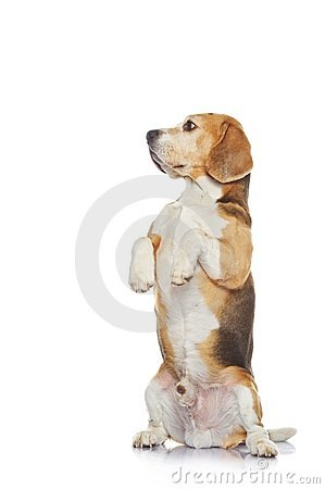 Beagle dog isolated on white background.