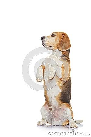 Beagle dog isolated on white background.