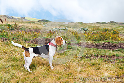 Beagle dog in nature