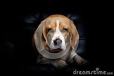A beagle dog.
