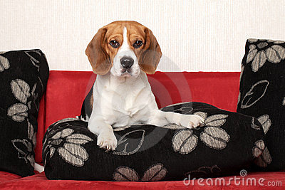 Beagle dog on red sofa
