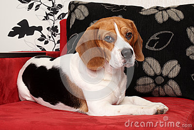 Beagle dog resting on red sofa