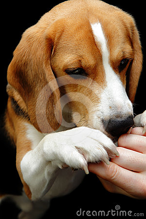 Beagle dog sniffing hand reward