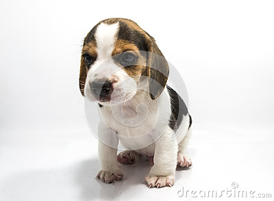 Beagle dog of white background