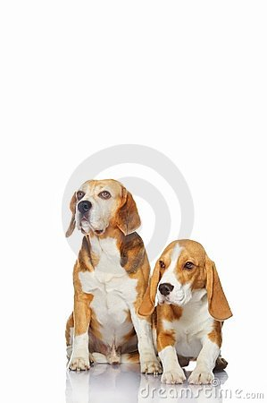 Beagle dogs isolated on white background.