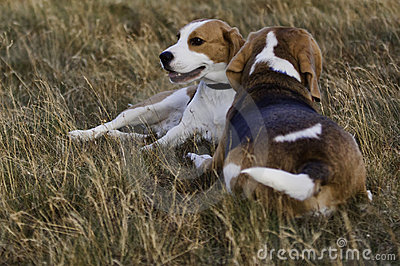 Beagle dogs resting.