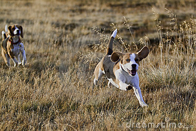 Beagle dogs running.