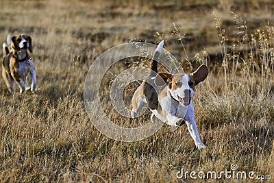 Beagle dogs running.