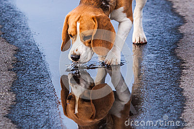 Beagle drinking from a puddle