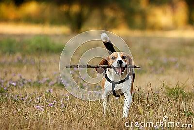 Beagle feliz