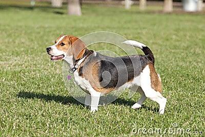 Beagle with Heart Dog Tag