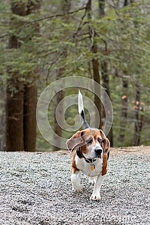 Beagle Hunting Dog