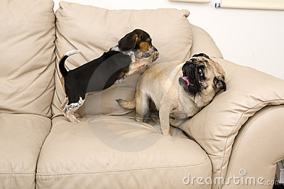 Beagle Jumping on Pug