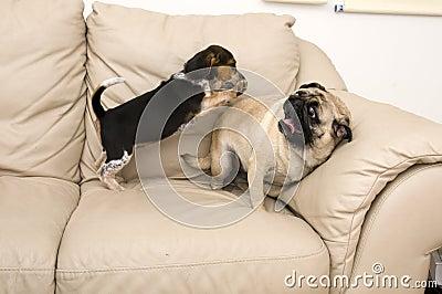 Beagle Jumping on Pug