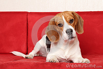 Beagle lies on red sofa