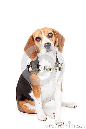 Beagle pet dog