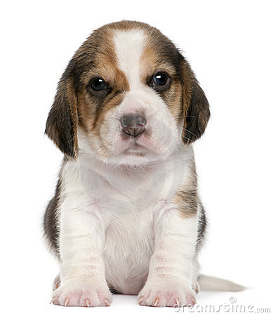 Free Beagle Puppy, 1 Month Old, Sitting In Front Of Stock Photo - 18673200