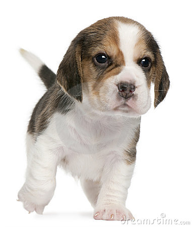 Beagle Puppy, 1 month old, walking in front of