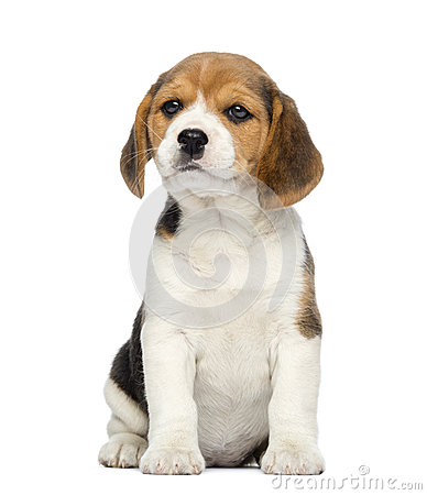 Free Beagle Puppy, 2 Months Old, Sitting Stock Image - 30817741