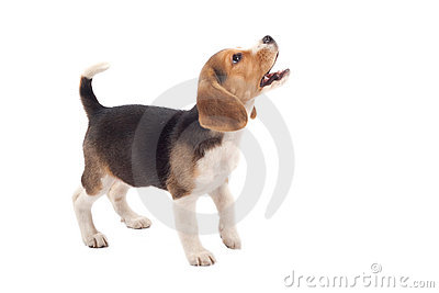 Beagle puppy barking