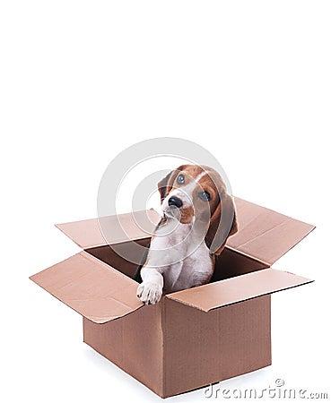 Beagle puppy in box