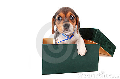 Beagle puppy in a box
