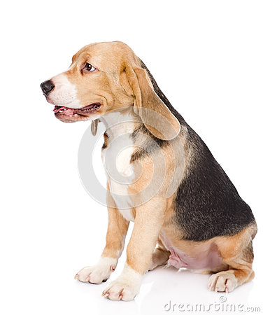 Free Beagle Puppy Dog Sitting In Profile. Isolated On White Stock Photography - 54375442