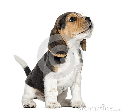 Free Beagle Puppy Howling, Looking Up, Isolated Royalty Free Stock Photography - 34775947