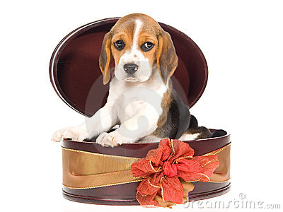 Beagle puppy inside round gift box